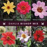 Dahlia Bischop Mix © Königliche Gartenakademie