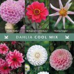 Dahlia Cool Mix © Königliche Gartenakademie
