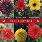 Dahlia Hot Mix © Königliche Gartenakademie