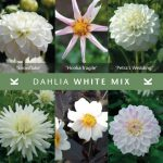 Dahlia White Mix © Königliche Gartenakademie
