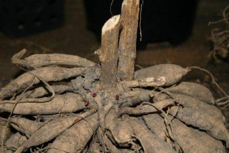 DAhlein - Neue trieben auf Dahlia Woodbridge © Isabelle van GroeningenNeue trieben auf Dahlia Dahlia Woodbridge © Isabelle van Groeningen