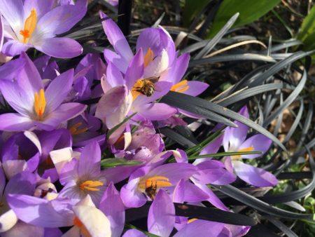 Bienen in Crocus © Isabelle van Groeningen