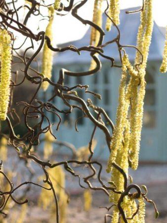 Corylus avellana 'Contorta' © Isabelle van Groeningen