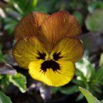 Viola cornuta 'Irish Molly' © Isabelle van Groeningen