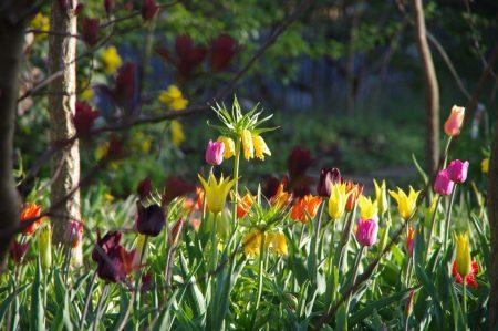 Frische Mischung Frühjahrszwiebeln © Isabelle van Groeningen