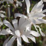 Magnolia stellata - Frühjahrsblühende Gehölze © Isabelle van Groeningen