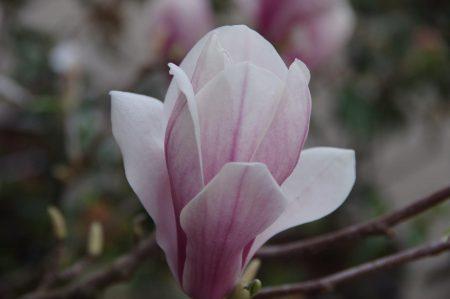 Magnolia x soulangeana © Isabelle van Groeningen