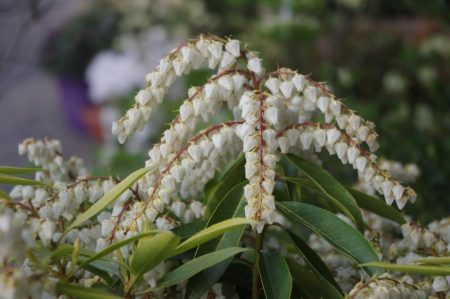 Pieris japonica 'Browers Beauty' © Isabelle van Groeningen