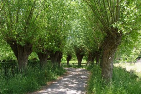 Pollarded Willows can help with waterlogged soils © Isabelle van Groeningen