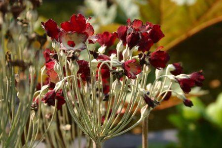 Primula florindae red form © Isabelle van Groeningen