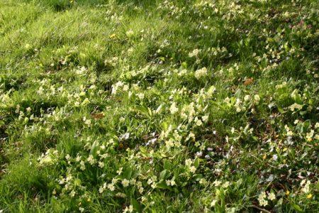 Primula vulgaris © Isabelle van Groeningen