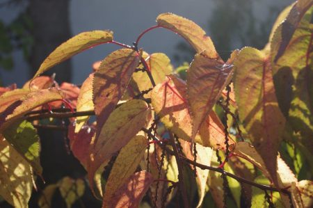 Stachyurus praecox Herbst © Isabelle van Groeningen