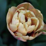 Tulipa 'Belle Epoque' Frühjahrszwiebeln© Isabelle van Groeningen