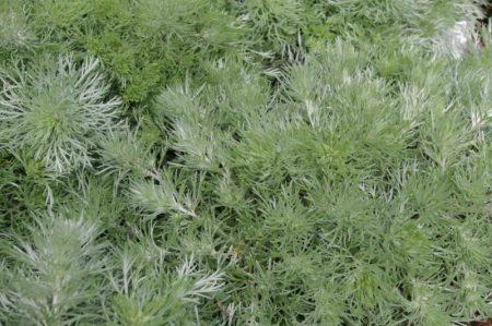 Verträgt Trockenheit - Artemisia schmidtiana 'Nana' © Isabelle van Groeningen