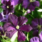Clematis viticella 'Etoile Violette' © Isabelle van Groeningen