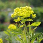 Euphorbia palustris 'Wahlenburg's glorie' © Isabelle van Groeningen