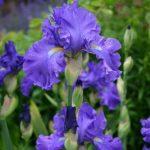Iris 'Blue Suede Shoes' © Isabelle van Groeningen