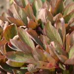 Paeonia mlokosewitchii Laub © Isabelle van Groeningen