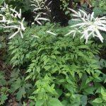 Aruncus aethusifolius 'Woldemar Meier' - shade plants © Isabelle van Groeningen