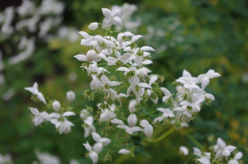 Wiesenraute - Thalictrum 'Splendide White' © Isabelle van Groeningen