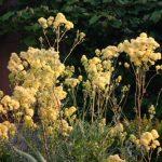 Gelbe Wiesenraute - Thalictrum flavum ssp glaucum © Isabelle van Groeningen