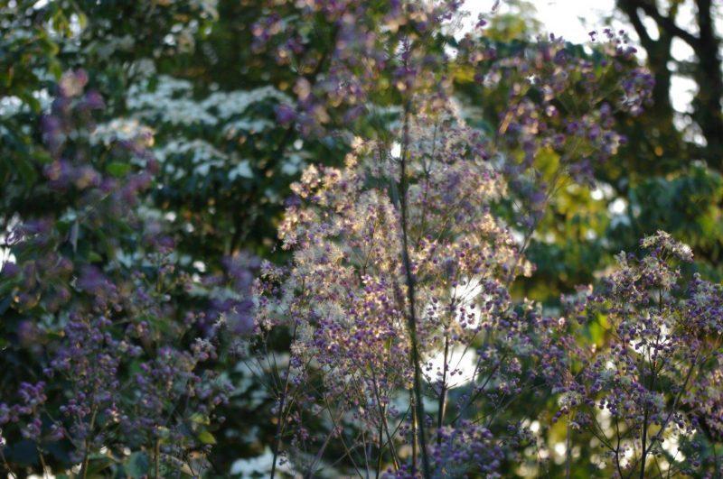 Wiesenraute - Thalictrum rochebrunianum © Isabelle van Groeningen