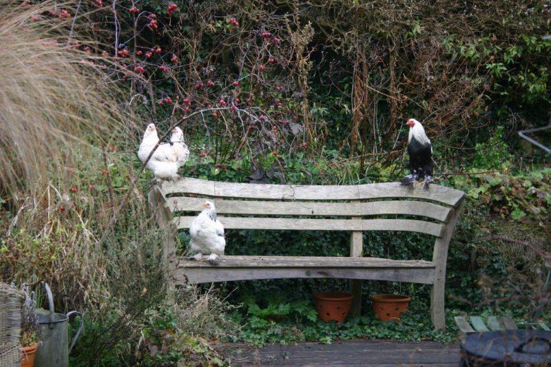 Family portrait - chickens © Isabelle van Groeningen