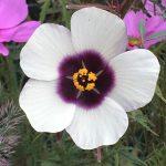 Hibiscus cannabinus 'Amethyst' © Isabelle van Groeningen
