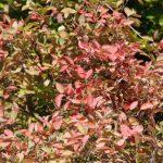 Herbstliche Farben - Amelanchier © Isabelle van Groeningen