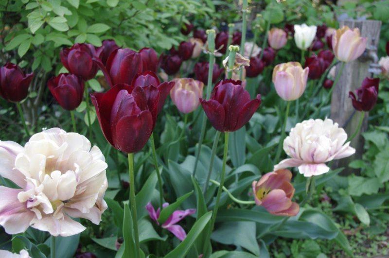 Boudoir Tulpen © Isabelle van Groeningen