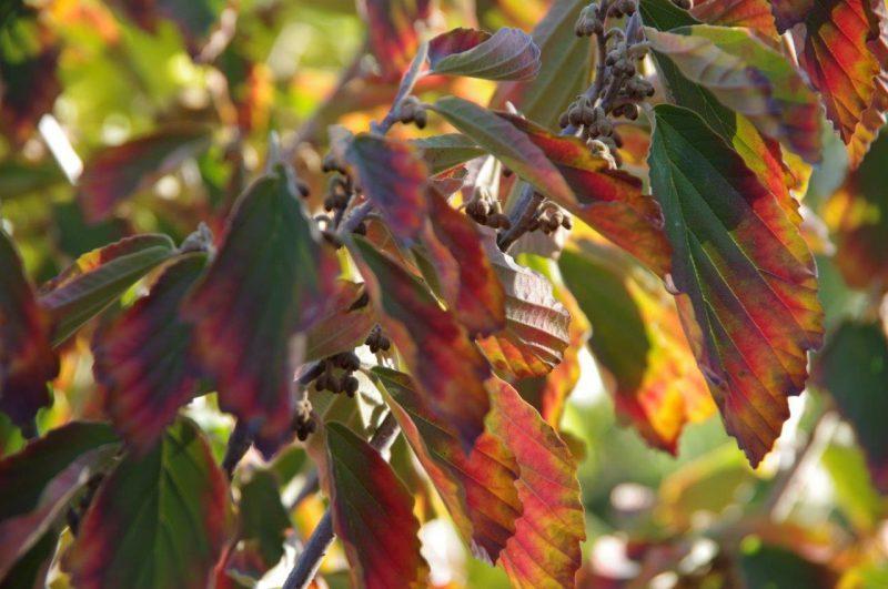 Herbstliche Farben Hamamelis 'Arnold Promise' © Isabelle van Groeningen