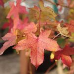 Herbstliche Farben - Liquidambar stiraciflua © Isabelle van Groeningen