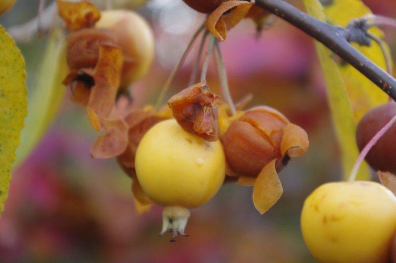 Hebstliche Farben - Malus 'Butterball' © Isabelle van Groeningen
