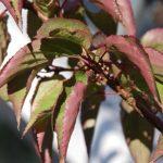 Herbstliche Farben - Stachyurus praecox © Isabelle van Groeningen