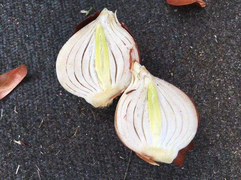 Tulpe mit neuem Trieb - sobald sie in die Erde kommt kann sie loslegen © Isabelle van Groeningen
