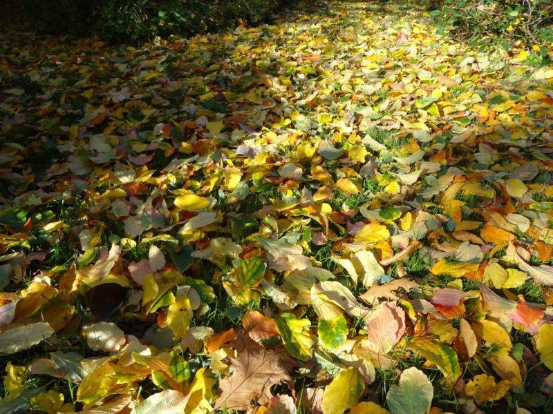 Goldenes Herbst-Laub © Isabelle van Groeningen