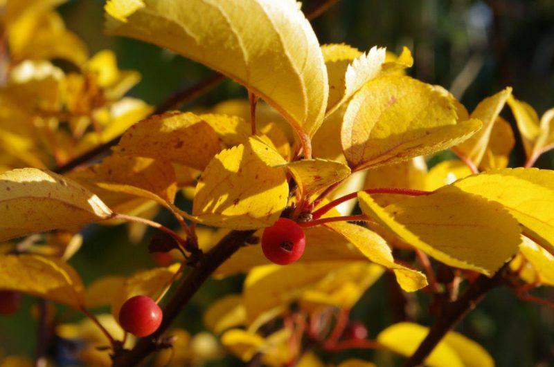 Autumn colours - Malus toringo 'Tina' © Isabelle van Groeningen