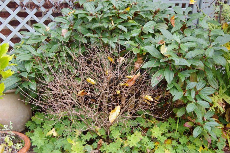 Viburnum davidii © Isabelle van Groeningen