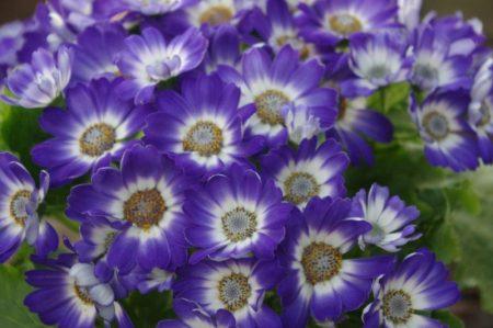 Aschenblume © Isabelle van Groeningen