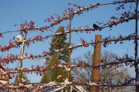 Blackbird in Crabapple - birds in winter © Isabelle van Groeningen