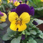 Hornveilchen - Farben für den Frühling© Isabelle van Groeningen