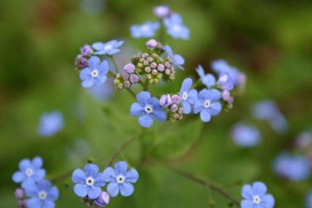 Brunnera macrophylla - Frühjahrsputz © Isabelle van Groeningen