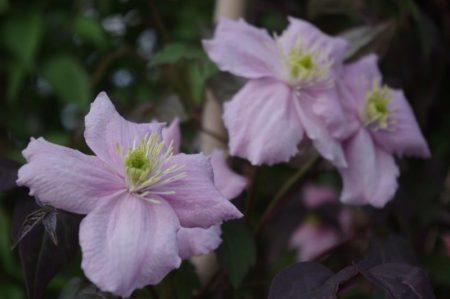 Clematis montana 'Fragrant Spring' © Isabelle van Groeningen