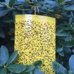 Gelbtafel Insektenfalle © Isabelle van Groeningen
