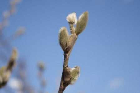 Magnolia stellata knospe © Isabelle van Groeningen
