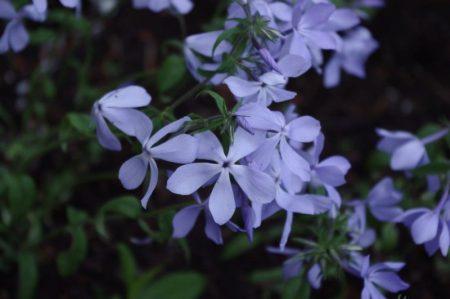 Phlox 'Blue Perfume' © Isabelle van Groeningen