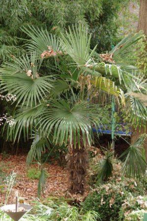 Trachycarpus fortunei © Isabelle van Groeningen