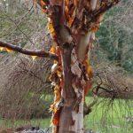 Betula albosinensis 'Bowling Green' © Isabelle van Groeningen