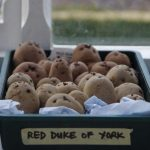 Chittng potatoes © Isabelle van Groeningen