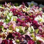 Helebore flowers © Isabelle van Groeningen